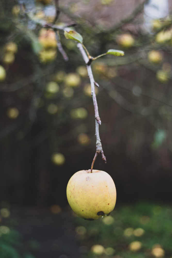 apple, blurry images, garden tree