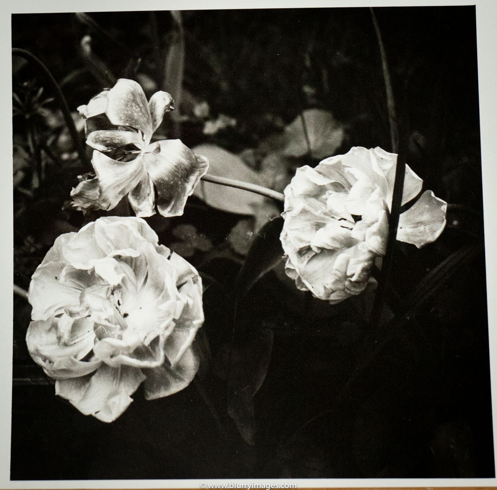 tulips, darkroom print, art print, www.blurryimages.com, black and white photography